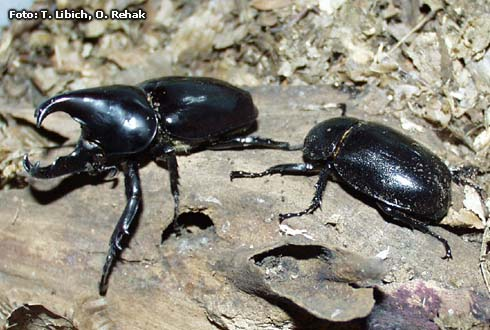 Xylotrupes gideon beckeri
