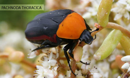 close-up photo Pachnoda thoracica